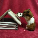 """Truffle the hamster chews on a treat attached to the """"chimney"""" of a small tp roll """"log"""" cabin."""