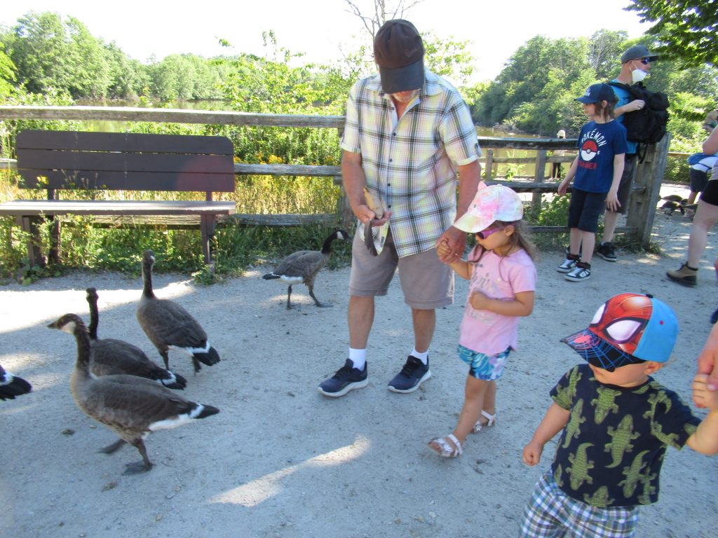 Two kids hold hands of adults while walking near big geese.